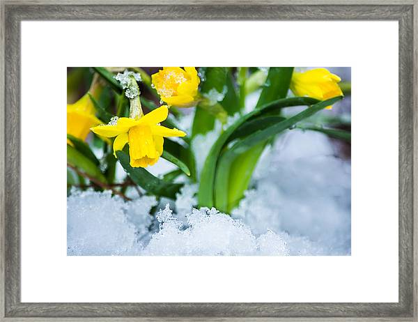 Daffodils In The Snow  Framed Print