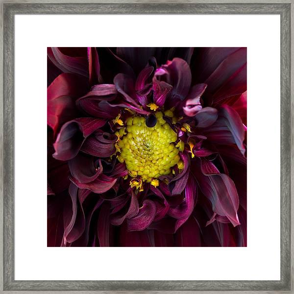 Dahlia - A Study In Crimson Framed Print