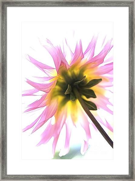 Dahlia Flower Framed Print