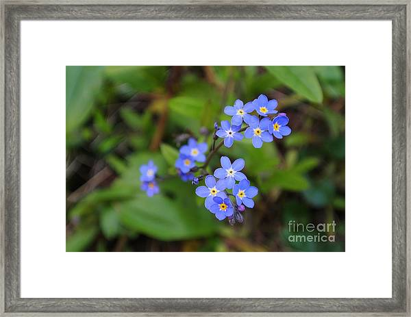 Dainty Blue Framed Print