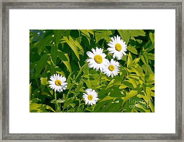 Daisies In Provincetown Framed Print