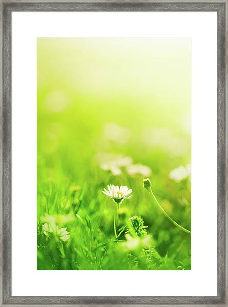 Daisies In The Field Framed Print by Jeja