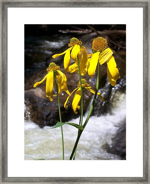 Daisies Near The Water  Framed Print