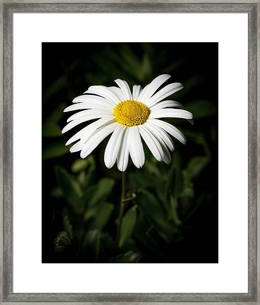 Daisy In The Garden Framed Print