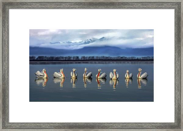 Dalmatian Pelicans Meeting Framed Print by Xavier Ortega