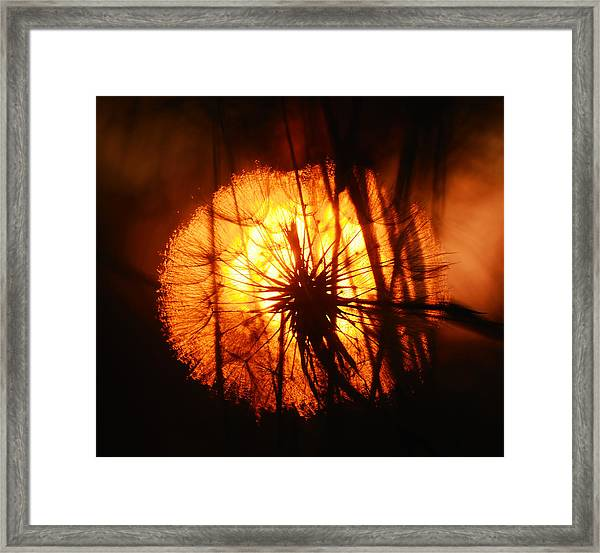 Dandelion At Sunset Framed Print