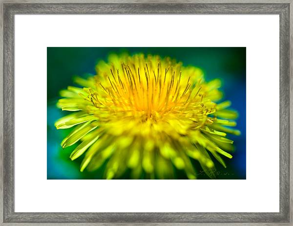 Dandelion Bloom  Framed Print
