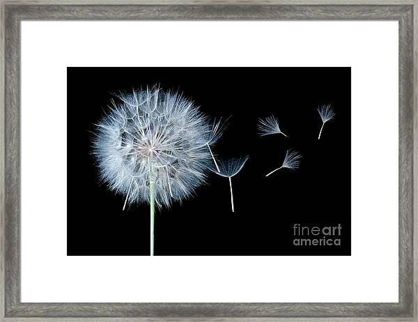 Dandelion Dreaming Framed Print