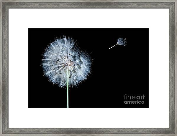 Dandelion Dreams Framed Print