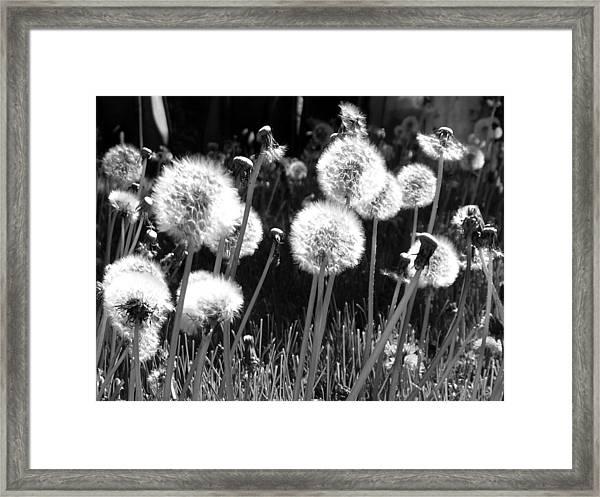 Dandelion Group Framed Print