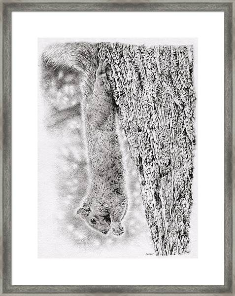 Dangling Squirrel Framed Print