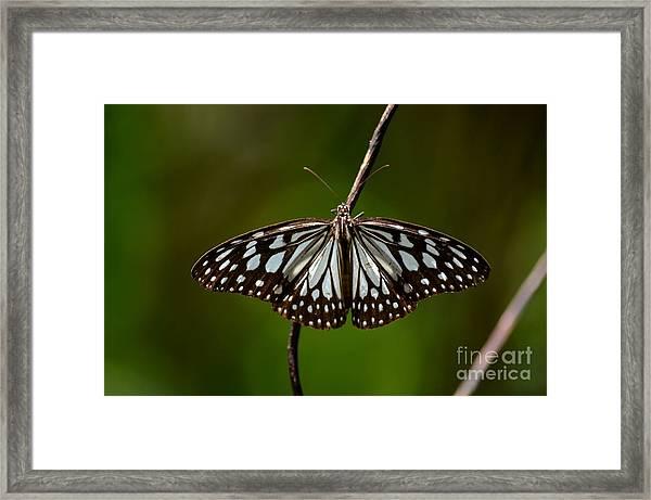 Dark Glassy Tiger Butterfly On Branch Framed Print