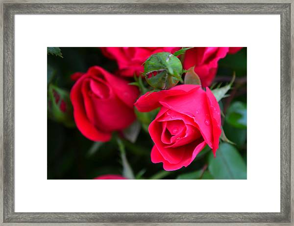 Dark Pink Roses #1 Framed Print