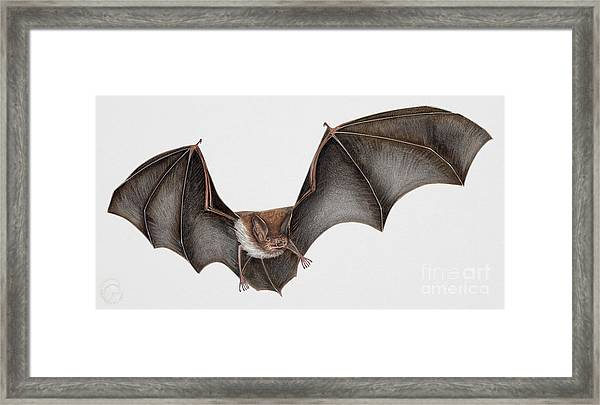 Daubentons Bat Myotis Daubentonii - Murin De Daubenton-murcielago Ribereno-vespertilio Di Daubenton Framed Print