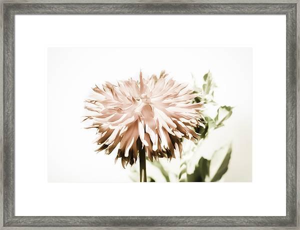 Dazzling Dahlia Framed Print