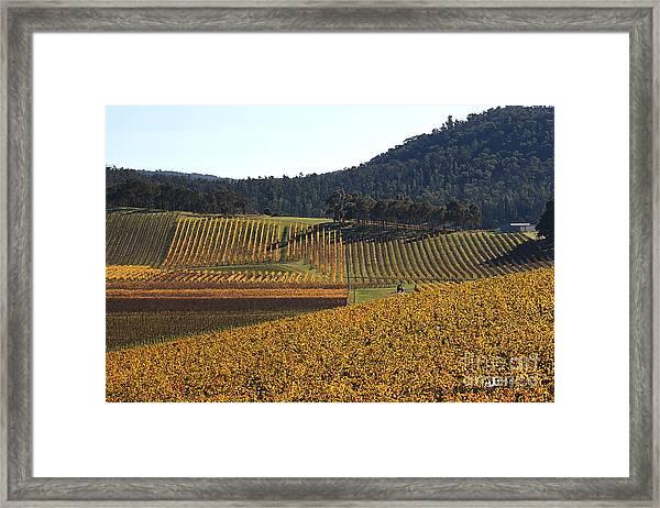 golden vines-Victoria-Australia Framed Print