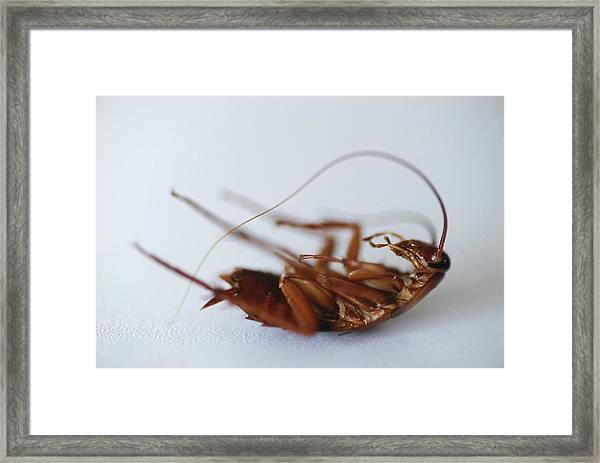 Dead Cockroach Framed Print