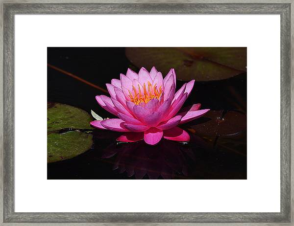 Deep Pink Lily Framed Print by Joe Bledsoe