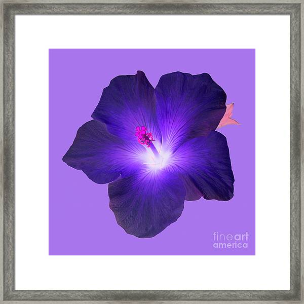 Deep Purple Hibiscus Flower On Purple Background Photograph By