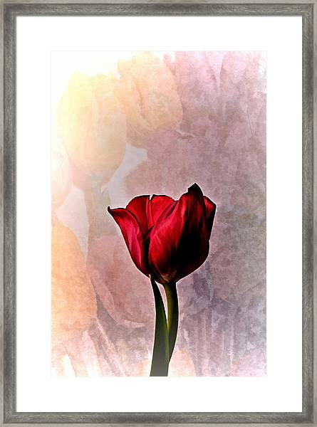 Deep Red Tulip On Pale Tulip Background Framed Print