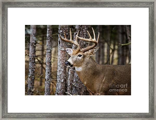 Deer Buck Framed Print