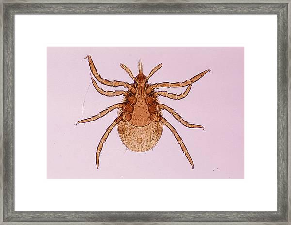 Deer Tick Nymph. Ixodes Dammini. Vector Of Lyme Disease. Head Contains Formidable Piercing Organ (hypostome). 10x Framed Print by Ed Reschke