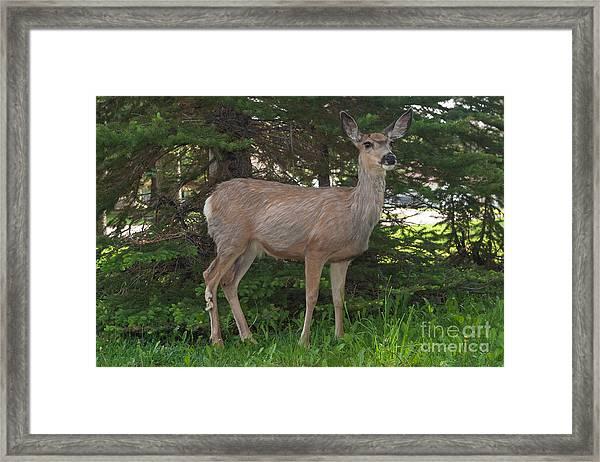 Deer Tourist... Framed Print