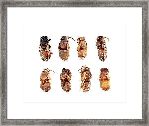 Deformed Honeybee Pupae Framed Print