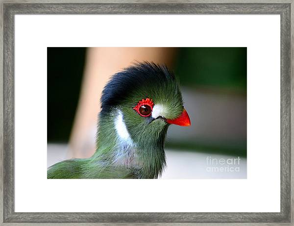 Delicate Green Turaco Bird With Red Beak White Patches And Black Crown Framed Print