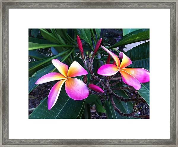Delicate Plumeria Framed Print
