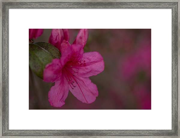 Delightful Azalea Framed Print