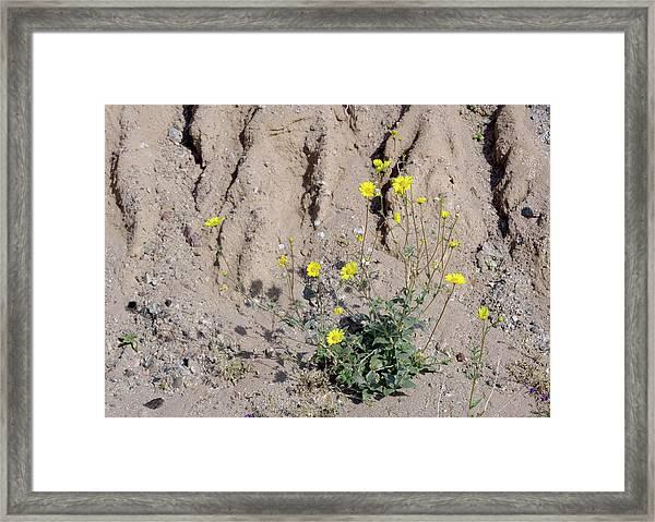 Desert Sunflower (geraea Canescens) Framed Print