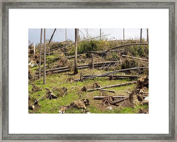 Devastated Conifer Forest Framed Print