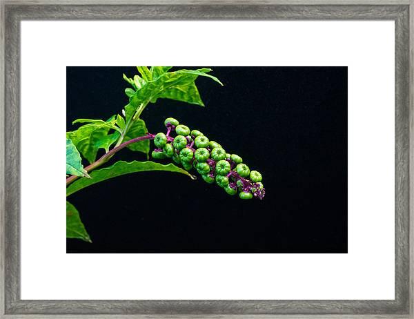 Developing Poke Berry Seeds Framed Print