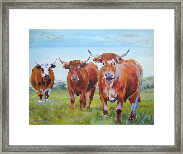Devon Cattle Framed Print
