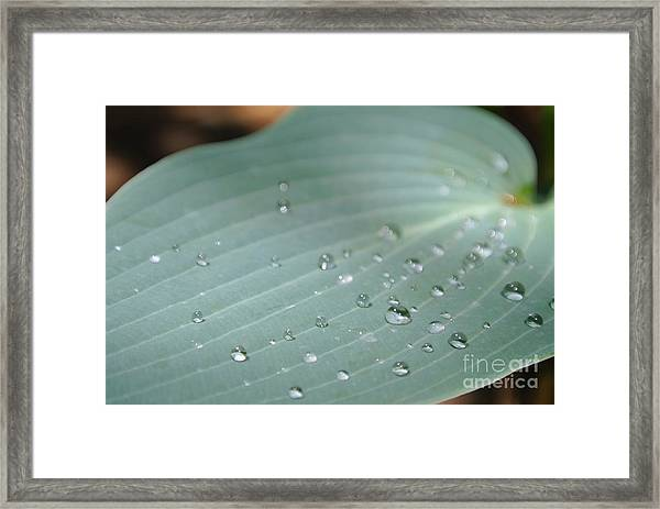 Dew Diamonds On Hosta Framed Print