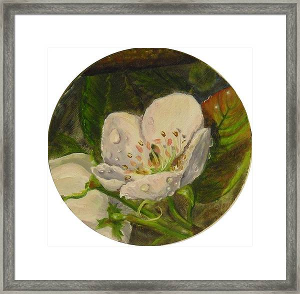 Dew Of Pear's Blooms Framed Print