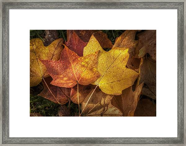 Dew On Autumn Leaves Framed Print