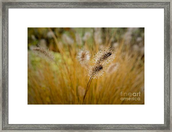 Dew On Ornamental Grass No. 4 Framed Print