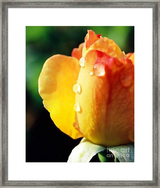 Dew On Rose Framed Print