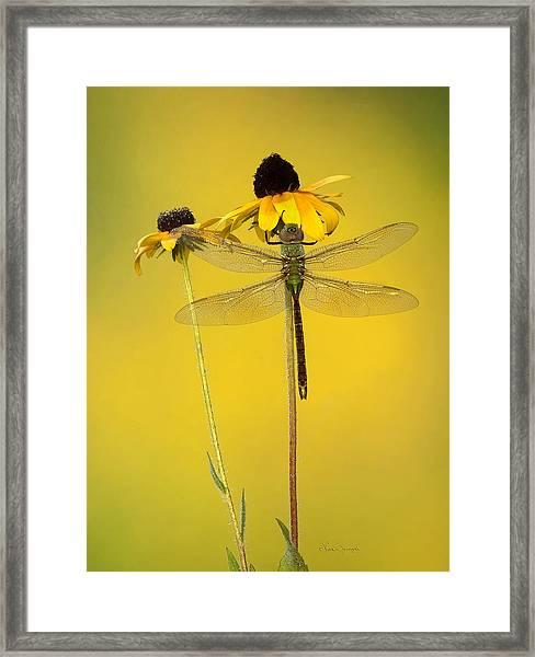 Dewy Darner Framed Print