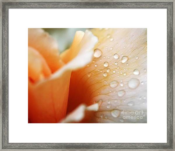 Dewy Rose Framed Print