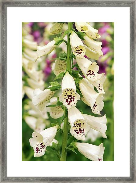 Digitalis Purpurea 'dalmatian Cream' Framed Print by Adrian Thomas