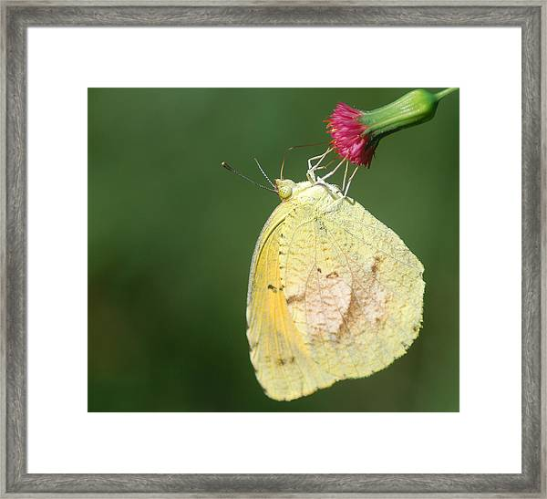 Dina Yellow Framed Print