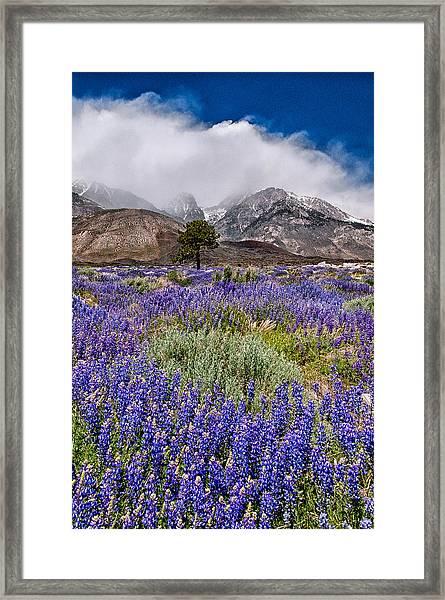 Division Creek Lupine Framed Print
