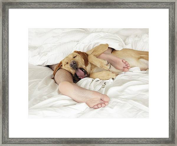 Dog Tangled Up In Person's Feet In Bed, Yawning Framed Print by Steven Puetzer