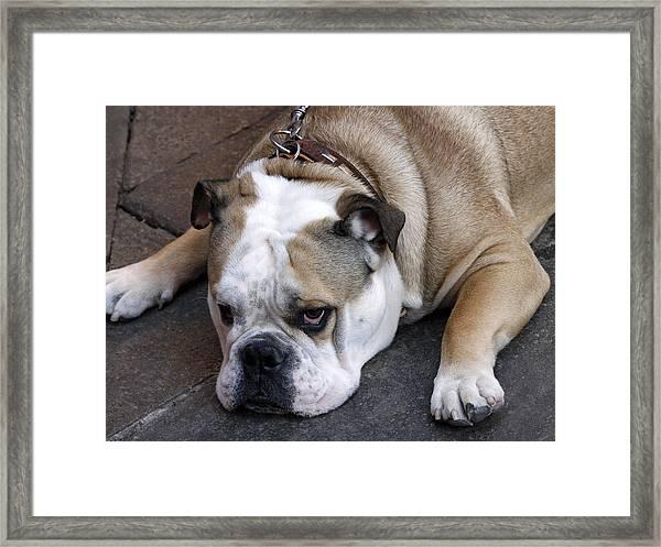 Dog. Tired. Framed Print