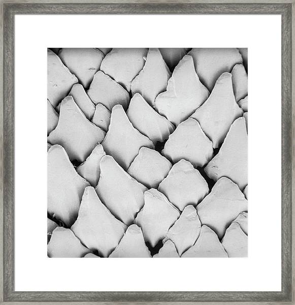 Dogfish Scales Framed Print by Natural History Museum, London