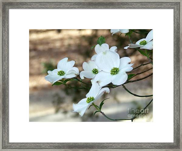 Dogwood 2 Framed Print