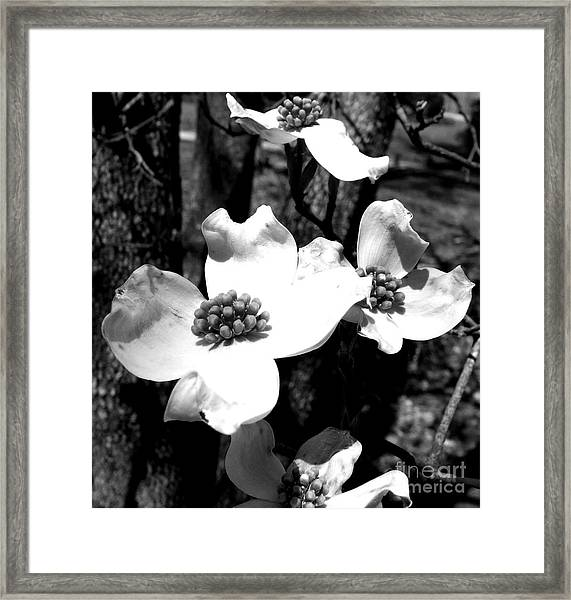 Dogwood 3 Framed Print